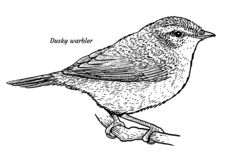 Fauvette sombre, illustration de fuscatus de Phylloscopus, dessin, gravure, encre, schéma, vecteur illustration libre de droits