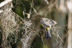 Fauvette throated jaune photos libres de droits