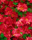 Faux bouquet rouge de chrysanthèmes Images stock