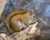 Fauxhawk d'écureuil rouge Images stock