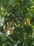 Fava di cacao Immagini Stock Libere da Diritti