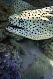 Favagineus atado de Gymnothorax de la anguila de moray Imagenes de archivo
