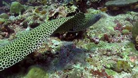 Favagineus di Gymnothorax di moray del favo che si muove nell'Oceano Indiano di corallo archivi video
