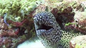 Favagineus di Gymnothorax di moray del favo che si muove nell'Oceano Indiano di corallo video d archivio