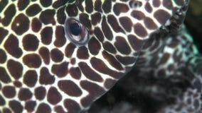 Favagineus di Gymnothorax di moray del favo nel golfo della Fujairah UAE Oman archivi video