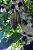 Fave di cacao crude, fagioli del cacao o cacao Baccello con i fagioli maturi fotografie stock libere da diritti