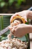 Fave di cacao fresche nella mano di un agricoltore Immagini Stock Libere da Diritti