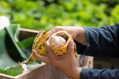 Fave di cacao fresche nella mano di un agricoltore Immagine Stock Libera da Diritti