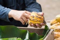Fave di cacao fresche nella mano di un agricoltore Immagine Stock