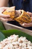 Fave di cacao fresche nella mano di un agricoltore Fotografie Stock Libere da Diritti
