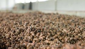 Fave di cacao nell'Ecuador Immagine Stock