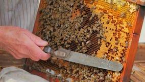 Favi di apertura dell'apicoltore con il coltello dell'ape stock footage