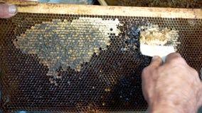 Favi di apertura dell'apicoltore con il coltello dell'ape Un apicoltore che usando una coltello-forcella per tagliare la cera dal archivi video