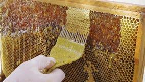 Favi di apertura dell'apicoltore con la fine del coltello dell'ape su Nuovo raccolto stock footage