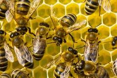 Favi di configurazione delle api Lavoro in un gruppo immagine stock
