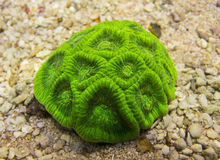 Favia coral. Hard coral green on sand Stock Photography