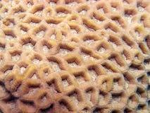 Favia lacuna coral macro Stock Images