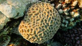 Favites abdita蜂窝珊瑚 库存图片