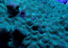 Favites Coral. A detail of an favites coral underwater in the sea Royalty Free Stock Photos