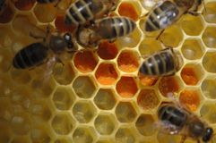 Favo con gli api Fotografia Stock Libera da Diritti