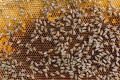 Favo con il fondo delle api fotografia stock libera da diritti