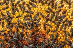Favo con le api Fotografia Stock Libera da Diritti