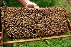 Favo de mel da abelha imagens de stock royalty free