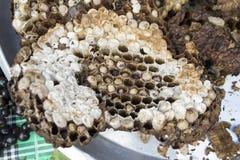 Favo de mel do favo de mel. Imagem de Stock