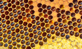 Favo de mel fresco Fotografia de Stock Royalty Free