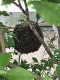 Favo de mel que pendura de um ramo de árvore Imagem de Stock Royalty Free