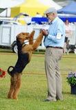 Favorable expositor del controlador de perro de la demostración de ANKC que se divierte con su Airedale Terrier en anillo de la d Fotos de archivo