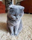 Favoriet huisdier Kat royalty-vrije stock foto