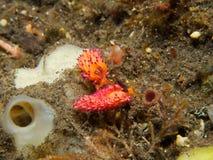 Favorinus mirabilis Nudibranch 01 Royalty Free Stock Photos
