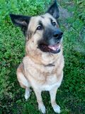 Favorit- hund Leende och absolut uppmärksamhet fotografering för bildbyråer