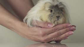 Favorite guinea pig breed Coronet cavy trusting in good gentle female hands slow motion stock footage video stock video