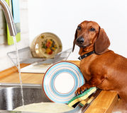 Favorite household duties of young dog. Washing dishes Royalty Free Stock Photos