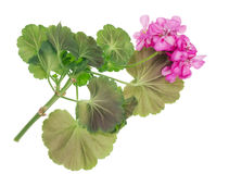 Favorite indoor plants Pink Geranium Royalty Free Stock Image
