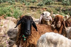 Favorite sheep in the herd stock photography