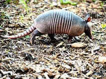 Armadillo in Florida Walking royalty free stock photo