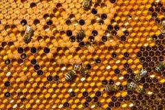 Favos de mel com Pergo e ninhada Fotografia de Stock