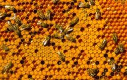 Favos de mel com Pergo e ninhada Imagens de Stock
