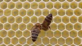 Favos de mel da construção das abelhas filme