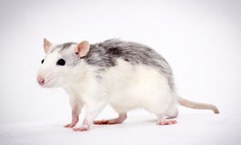 Favourite rat Stock Images
