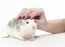 Favourite rat Royalty Free Stock Photography