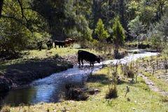 Fawcetts小河绿色鸽子 图库摄影
