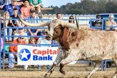 2018 FAWE Rodeo. Rodeo event at the 3rd Annual FAWE Expo in Hernando County, Florida showcased bull riders, ladies barrel racing and calf roping Stock Image