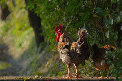 Fawl and hen in nepali farm, Bardia, Népal Royalty Free Stock Photography