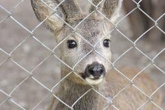 fawn ζωολογικός κήπος Στοκ Εικόνες