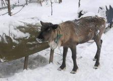 Fawn σε ένα λουρί Στοκ Εικόνα