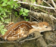 Fawn 1. Whitetail deer fawn lying down next to a small brook hiding stock photos